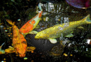 Koi Digital Art Prints - Koi Print by Mindy Newman