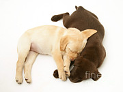 Sleeping Dog Posters - Labrador Retriever Puppies Poster by Jane Burton