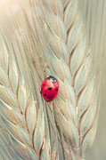 Cornfield Framed Prints - Ladybug on a spike Framed Print by Sabino Parente