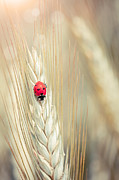 Cornfield Framed Prints - Ladybug Framed Print by Sabino Parente