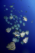 Ephippidae Photos - Large School Of Batfish, Christmas by Mathieu Meur