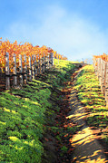 Grape Vines Prints - Late Autumn in Napa Valley Print by Ellen Cotton