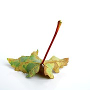 Red And Green Photo Posters - Leaf Poster by Bernard Jaubert