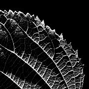 Featured Photos - Leaf by Jean-Francois  Dupuis