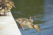 Baby Mallards Posters - Leap of Faith Poster by Fraida Gutovich