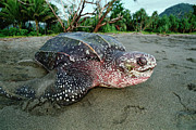 Leatherback Sea Turtle Dermochelys Print by Mike Parry