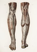 Knees Framed Prints - Leg Anatomy, 19th Century Illustration Framed Print by