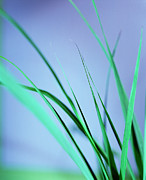 Essential Framed Prints - Lemon Grass Leaves Framed Print by Lawrence Lawry