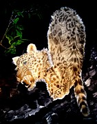 Photographs Drawings - Leopard at Night by Sylvie Heasman