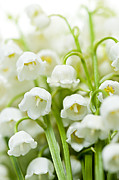 Flower Blooming Photos - Lily-of-the-valley flowers by Elena Elisseeva