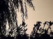 Weeping Willow Photos - Lily Silhouettes by Sarah Loft