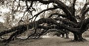 Live Oak Tree Prints - Live Oak Tree with Spanish Moss Print by Dustin K Ryan