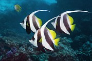3 Fish Posters - Longfin Bannerfish Poster by Georgette Douwma