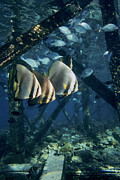 Strut Photos - Longfin Batfish by Georgette Douwma