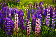 Lush Green Art - Lupin flowers in Newfoundland by Elena Elisseeva