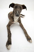 Lurcher Framed Prints - Lurcher Dog Framed Print by Mark Taylor
