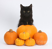 Orange Pumpkins Prints - Maine Coon Kitten & Pumpkins Print by Mark Taylor