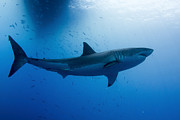 White Shark Prints - Male Great White Shark, Guadalupe Print by Todd Winner