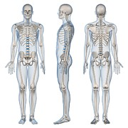 Frontal Bones Posters - Male Skeleton, Artwork Poster by Sciepro