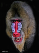 West Africa Posters - Mandrill Poster by Larry Linton