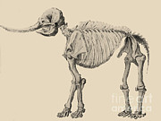 Peale Posters - Mastodon Skeleton Poster by Science Source
