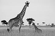 Giraffes Framed Prints - Meet My Little One Framed Print by Michele Burgess