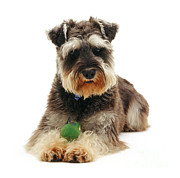Dog Portraits Photos - Miniature Schnauzer by Jane Burton