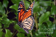 Ted Kinsman - Monarch Butterfly In Flight