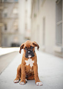 Dog Sitting Prints - 2 Month Old Boxer Puppy Standing In Alley Print by Diyosa Carter