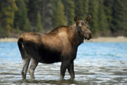 Beach Wildlife Posters - Moose at Maligne lake Jasper Poster by Pierre Leclerc