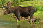 Bull Moose Prints - Moose Print by Sebastian Musial