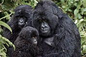 Caring Mother Posters - Mountain Gorilla Family Group Poster by Tony Camacho