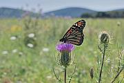 Butterfly Artwork Prints - Mountain Meadow Monarch Print by Randy Bodkins