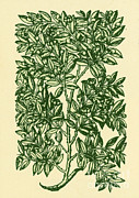 Illustration Of Love Prints - Myrtle, Alchemy Plant Print by Science Source
