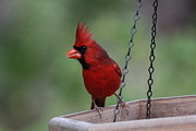 Cardinals. Wildlife. Nature. Photography Photos - Northern Cardinal Photo by Meg Rousher
