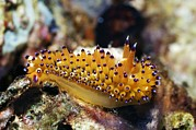 Marine Mollusc Art - Nudibranch by Georgette Douwma