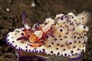 Nudibranch With Orange Emperor Shrimp Print by Mathieu Meur