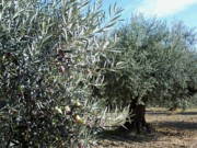 Olives Photo Posters - Olive Trees Poster by Judy Kirouac