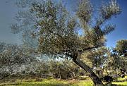 Olive Green Framed Prints - Olive Trees Framed Print by Vladi Alon