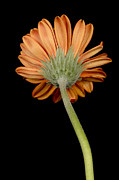 Gerber Daisy Art - Orange Gerber by Al Hurley
