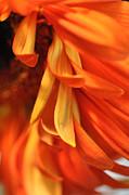 Orange Gerbera Daisy 4 Print by Ronda Broatch