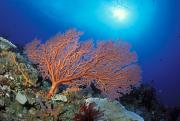 Fan Framed Prints - Orange Sea Fan Framed Print by Ed Robinson - Printscapes