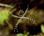 Orb* Originals - Orb Spider by Arthur Bohlmann