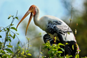 Painted Feathers Posters - Painted Stork Poster by Nila Newsom