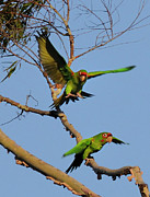 Parrots Photos - Parrots by Marc Bittan
