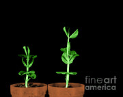 Controlled Prints - Pea Plants Grown With Gibberellic Acid Print by Omikron