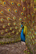 Animal Photos - Peacock by Carlos Caetano
