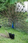 Kittens Digital Art - 2 peaCOCKS AND a black PUSSY cat by Rob Hans