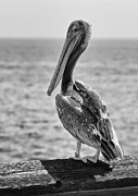Eddie Yerkish - Pelican Portrait