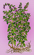 Initiation Posters - Pennyroyal, Alchemy Plant Poster by Science Source